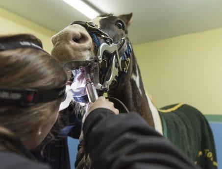 horse dental HNVG